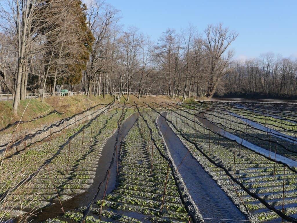 plantación de wasabi